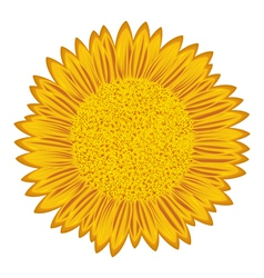 Sunflower over white vector