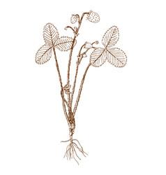 fragaria campestris vector image vector image