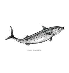 Atlantic mackerel hand drawing vintage style vector