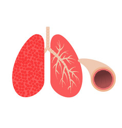 Lungs and bronchi vector