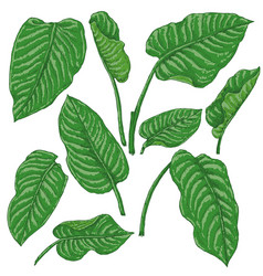 green dieffenbachia leaves sketch vector image vector image