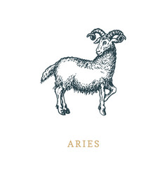 Aries zodiac symbol hand drawn in engraving style vector