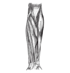 Superficial muscles of the arm vintage vector