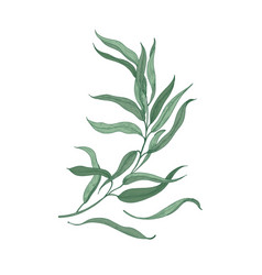 Eucalyptus sprig with green leaves isolated on vector