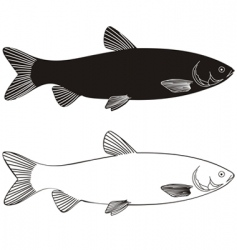 fish grass carp vector image
