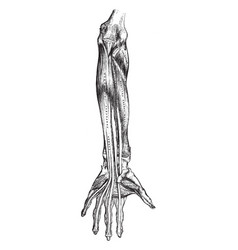 Front view of arm muscles vintage vector