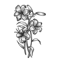 Lily flower sketch engraving vector