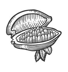 cocoa fruit sketch engraving vector image