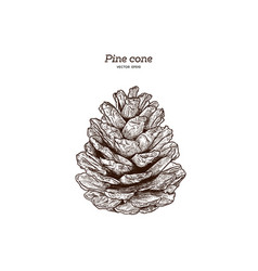 pine cone hand draw vector image