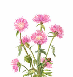 centaurea dealbata or persian cornflower pink vector image