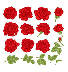 red roses hand drawn flowers and vector image