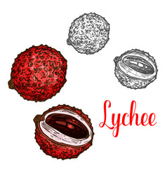 lychee fruit sketch of exotic tropical litchi vector image