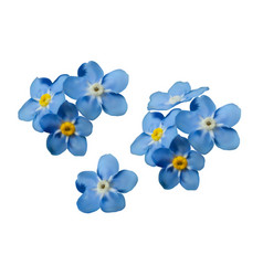 Blue forget me not spring flowers decorative vector