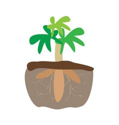 Cassava tree plant and tapioca root underground vector