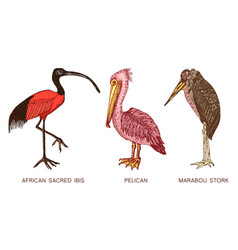 pelican and african sacred ibis and storks vector image