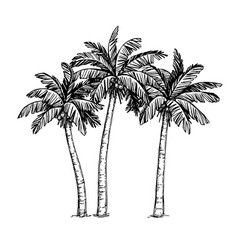 ink sketch of palm trees vector image