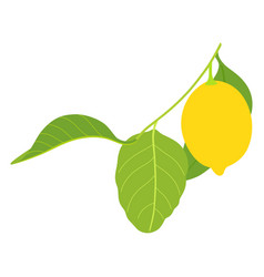 lemon with three leaves isolated on white vector image