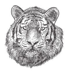 tiger head hand drawing monochrome on white vector image