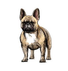 Beautiful french bulldog vector