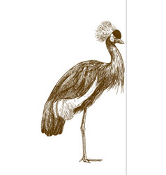 engraving drawing of grey crowned crane vector image