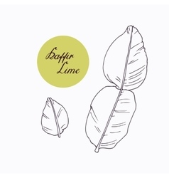 Hand drawn kaffir lime branch with leaves isolated vector image