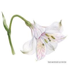 Peruvian lily alstroemeria vector