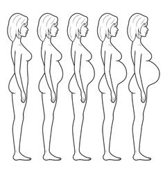 Stages pregnancy vector
