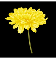 yellow dahlia with the effect of a watercolor vector image vector image
