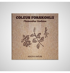 Herbs and spices collection - coleus forskohlii vector