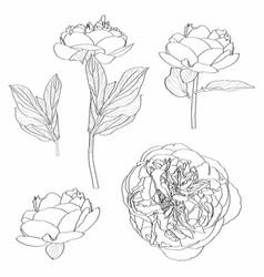 sketch floral botany peony flower set vector image