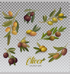 isolated set green and black olive branches vector image
