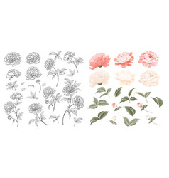 set peonies flowers elements collection of vector image