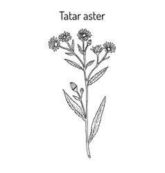 Tatarinows aster medicinal plant vector