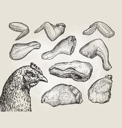 hand drawn cuts chicken meat butcher shop sketch vector image vector image