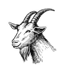 head of goat vector image