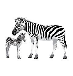 Zebra with a foal vector image