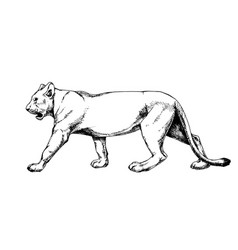 Lioness isolated hatch drawing vector
