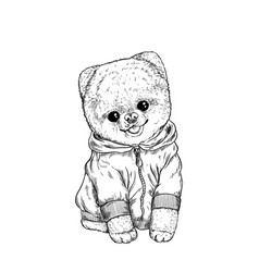 pomeranian toy dig dressed in hoodie hand drawn vector image