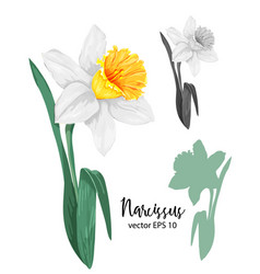 daffodil narcissus flower set vector image