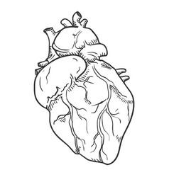 Sketch human hearts anatomical organ vector