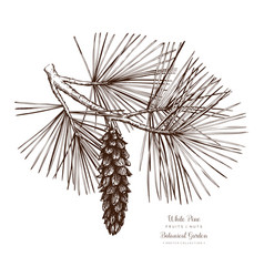 White pine botanical vector