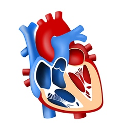 Function and definition human heart tridimensional vector