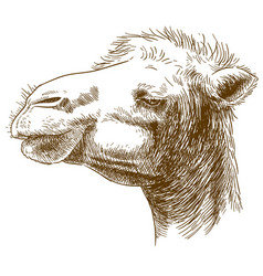 Engraving of camel head vector
