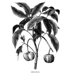 rubber plant botanical hand draw vintage vector image