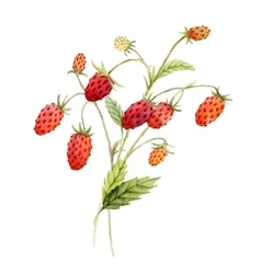 Watercolor red strawberry vector