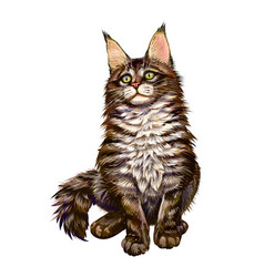maine coon cat sitting and looking away on a white vector image