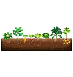 Vegetables growing from underground vector
