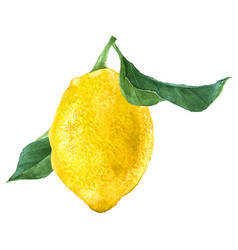 Watercolor lemon fruit vector
