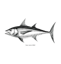 tuna fish hand drawing vintage engraving vector image