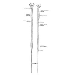 Ventral and dorsal views spinal cord vector